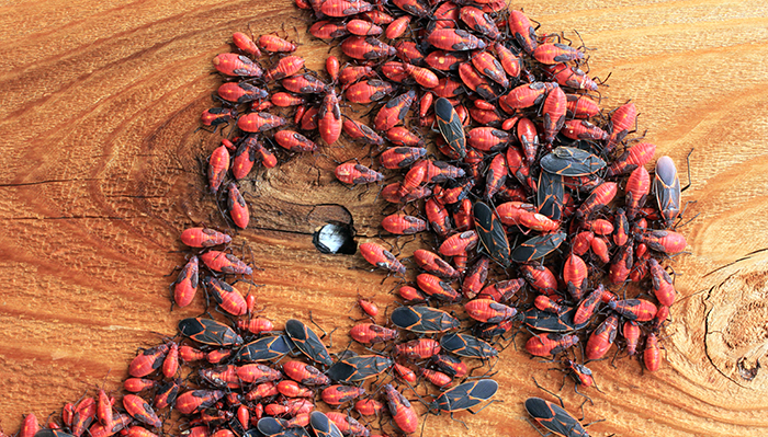 boxelderbugs
