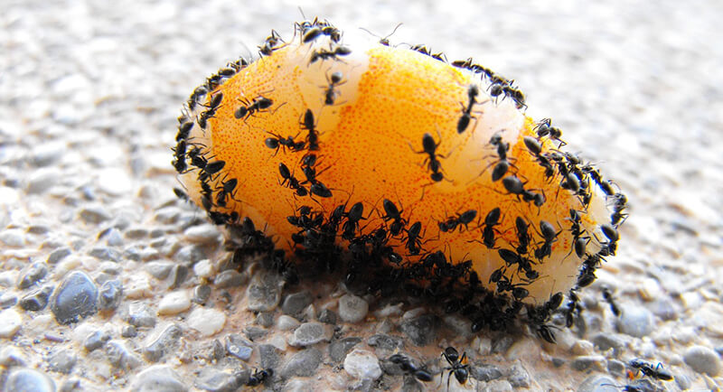 What Attracts Carpenter Ants To Your Home Pointe Pest Control