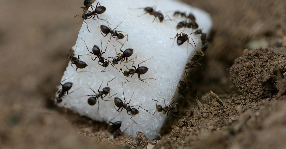 sugar ants eat a piece of sugar